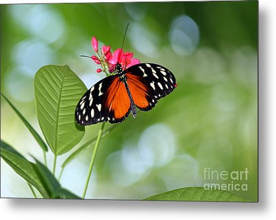 Tropical Hecale Butterfly Metal Print