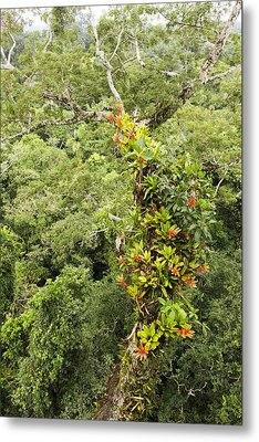 Tropical Rainforest Epiphytes Metal Print by Science Photo Library