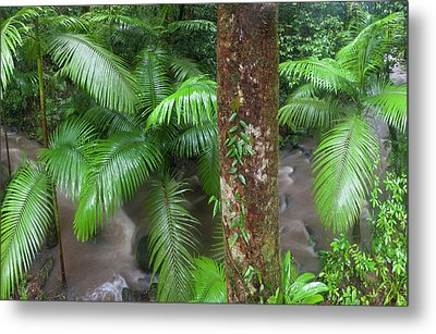 Tropical Rainforest, Mossman River Metal Print by Peter Adams