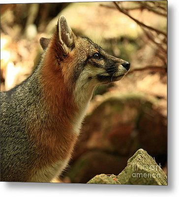 Truly Captivated By The Rare Grey Fox Metal Print by Inspired Nature Photography Fine Art Photography