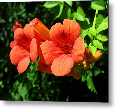 Metal Print featuring the photograph Wild Trumpet Vine by William Tanneberger
