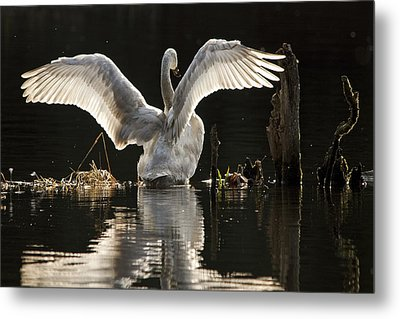 Metal Print featuring the photograph Trumpeter Swan Stretch by Inge Riis McDonald