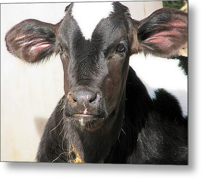 Tuf Guy Metal Print by Victoria Sheldon
