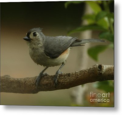 Tufted Titmouse Close Up Metal Print by Amanda Collins
