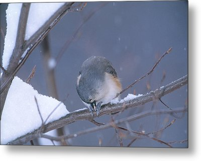 Tufted Titmouse Eating Seeds Metal Print by Paul J. Fusco