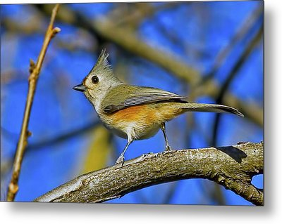 Tufted Titmouse Metal Print by Gary Holmes