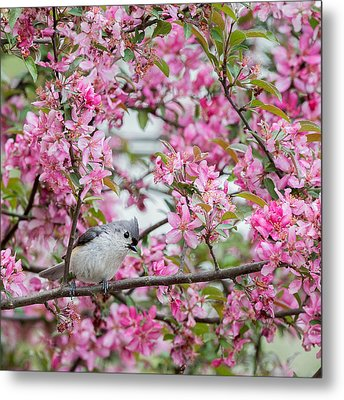 Tufted Titmouse In A Pear Tree Square Metal Print by Bill Wakeley