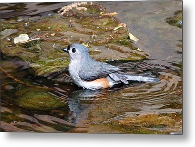 Tufted Titmouse In Pond II Metal Print by Sandy Keeton