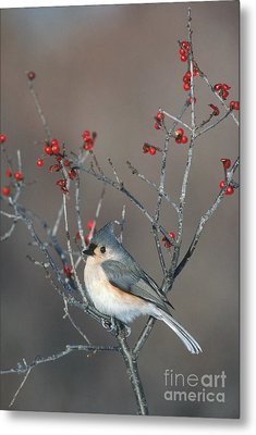 Tufted Titmouse Metal Print by Larry West
