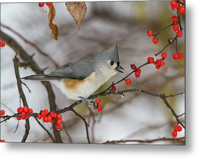Tufted Titmouse (parus Bicolor Metal Print by Richard and Susan Day