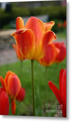 Tulip Collection Photo 1 Metal Print