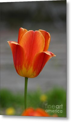 Tulip Collection Photo 6 Metal Print
