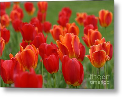 Tulip Collection Photo 7 Metal Print