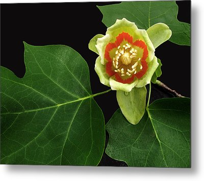 Tulip Bloom Metal Print