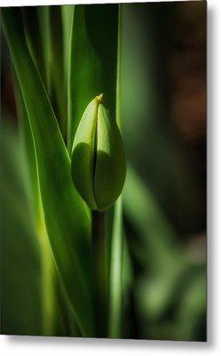 Tulip Bud Metal Print by Peter Scott