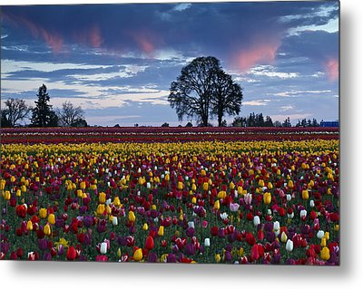 Tulip Field's Last Colors Metal Print by Wes and Dotty Weber