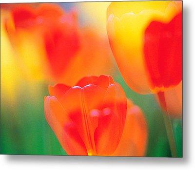 Tulip Flowers Metal Print