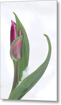 Tulip In The Snow Metal Print by  Andrea Lazar
