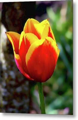 Metal Print featuring the photograph Tulip by Ron Roberts