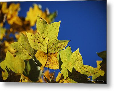 Metal Print featuring the photograph Tulip Tree In Autumn by Phil Abrams