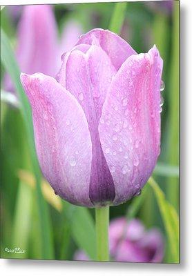 Tulip Weeps Metal Print
