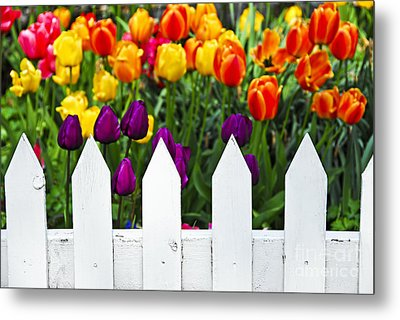 Tulips Behind White Fence Metal Print