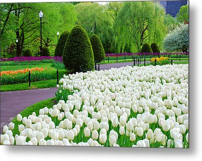 Tulips Boston Public Gardens  Metal Print by Michael Hubley