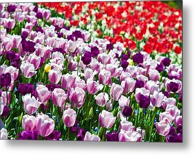 Tulips Field Metal Print by Sebastian Musial