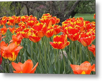 Metal Print featuring the photograph Tulips From Brooklyn by John Telfer