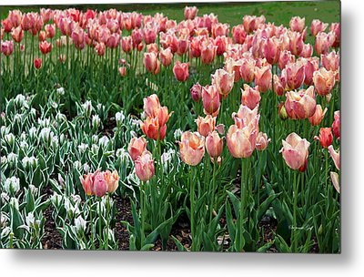 Tulips Galore  Metal Print by Suzanne Gaff