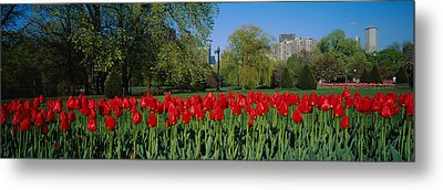 Tulips In A Garden, Boston Public Metal Print by Panoramic Images