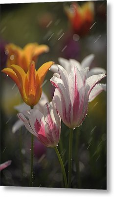 Tulips In The Rain Metal Print by Phyllis Peterson