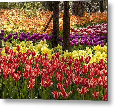 Tulips Tulips Tulips Metal Print by Robert Camp