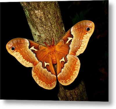 Metal Print featuring the photograph Tuliptree Silkmoth by William Tanneberger