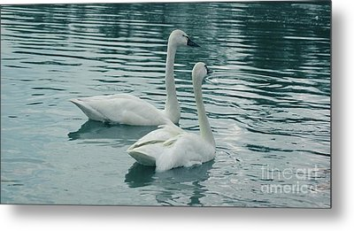 Tundra Swans Metal Print by Kathleen Struckle