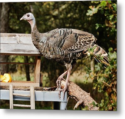 Turkey Antics Metal Print by VLee Watson