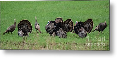 Turkey Mating Ritual Metal Print