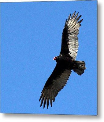 Turkey Vulture In Flight Metal Print by James Hammen