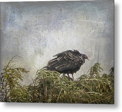 Turkey Vulture Looking For Dinner Metal Print