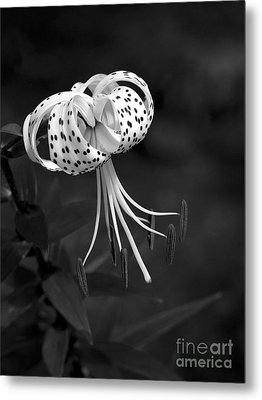 Turk's Cap Lily In Black And White Metal Print