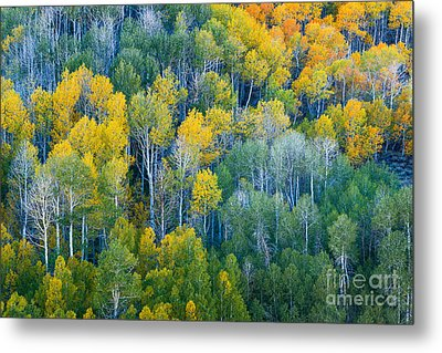 Turning Aspens At Dunderberg Meadows Metal Print by Alexander Kunz