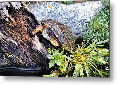 Metal Print featuring the photograph Turtle 1 by Dawn Eshelman