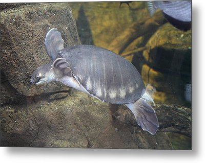 Turtle - National Aquarium In Baltimore Md - 12129 Metal Print