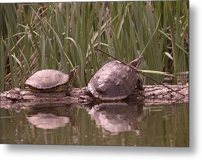 Turtle Struggling To Rest On A Log With Its Buddy Metal Print by Jeff Swan