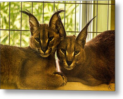 Twin Caracals Metal Print