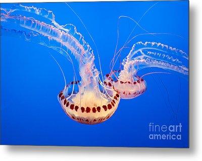 Twin Dancers - Large Colorful Jellyfish Atlantic Sea Nettle Chrysaora Quinquecirrha  Metal Print by Jamie Pham