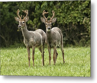 Metal Print featuring the photograph Twin Eight Point Bucks by Jim Lepard