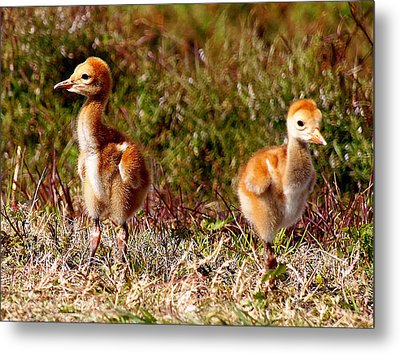 Metal Print featuring the photograph Twin Sandhill Chicks 000  by Chris Mercer