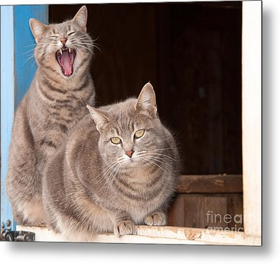 Twin Tabbies Metal Print