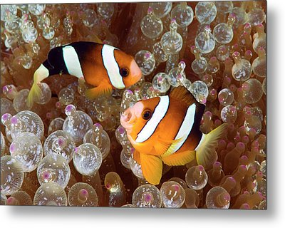 Two Anemonefish Swim Among Poisonous Metal Print by Jaynes Gallery